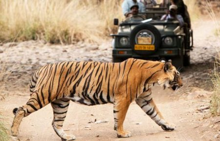 Wildlife Tiger Safari Tour